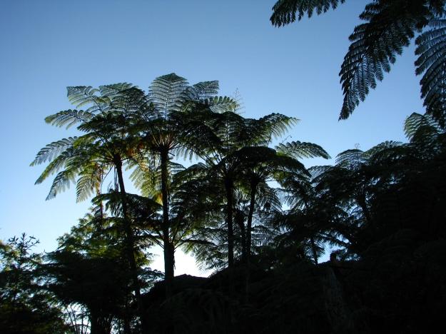 Helechos arborescentes - Bogor - Indonesia